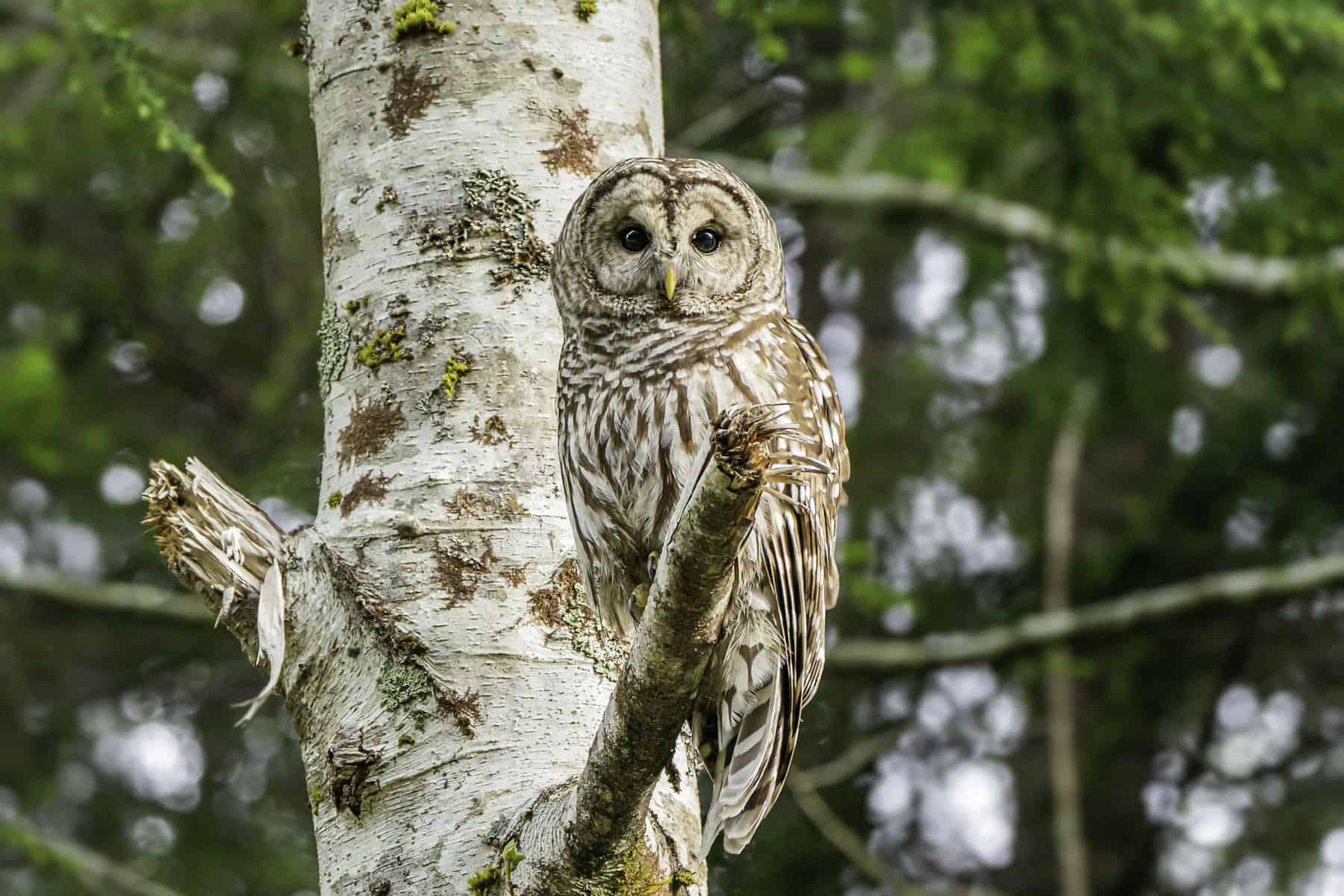 Spring Owl Spotting