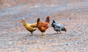 Three colorful chickens casually looking for food on a gravel road